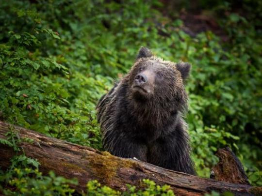 Obyvatelia obce Dúbravy sa cítia ohrození medveďmi: Chceme, aby o tom médiá informovali