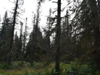 Lesy ČR: Podkôrniková kalamita ustupuje – obnovíme lesy aj cesty
