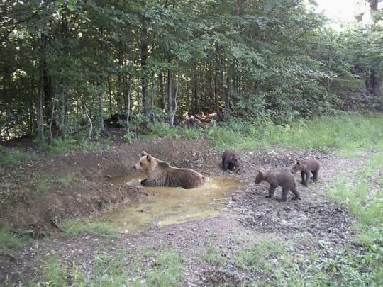 Názor: Výskyt medveďa na Kysuciach